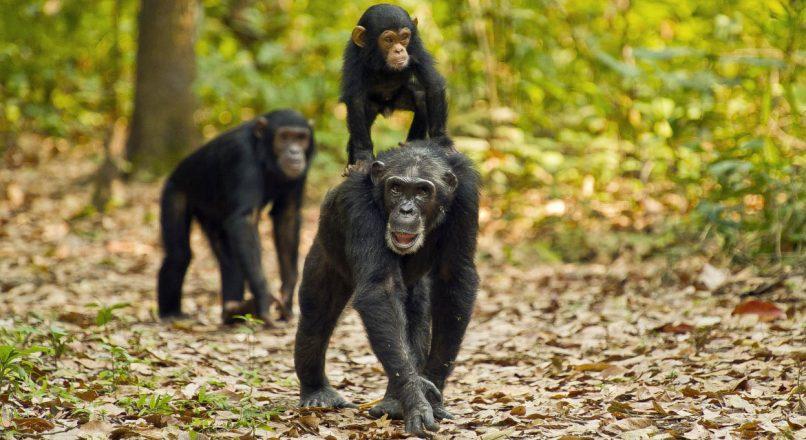 3 Days Gombe – Chimpanzee