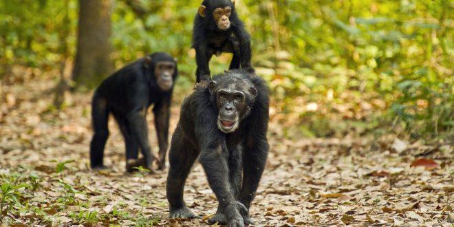 4 Days Gombe Chimpanzee Trekking