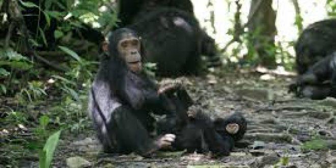 3 Days Gombe Chimpanzee trekking