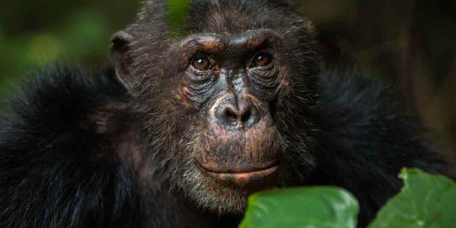 4 Days Mahale Chimpanzee Trekking